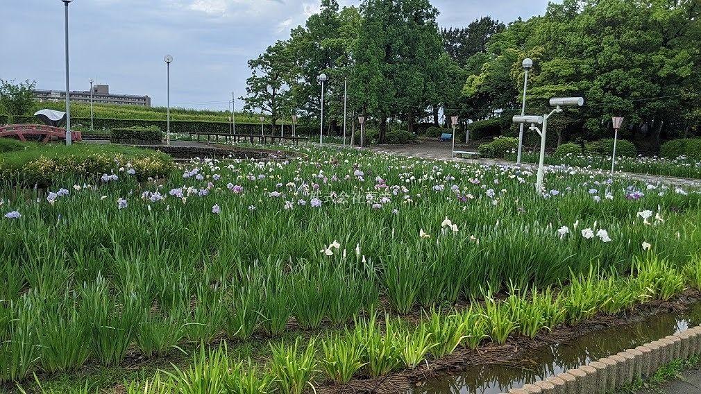 油ヶ渕遊園地の花菖蒲(はなしょうぶ)